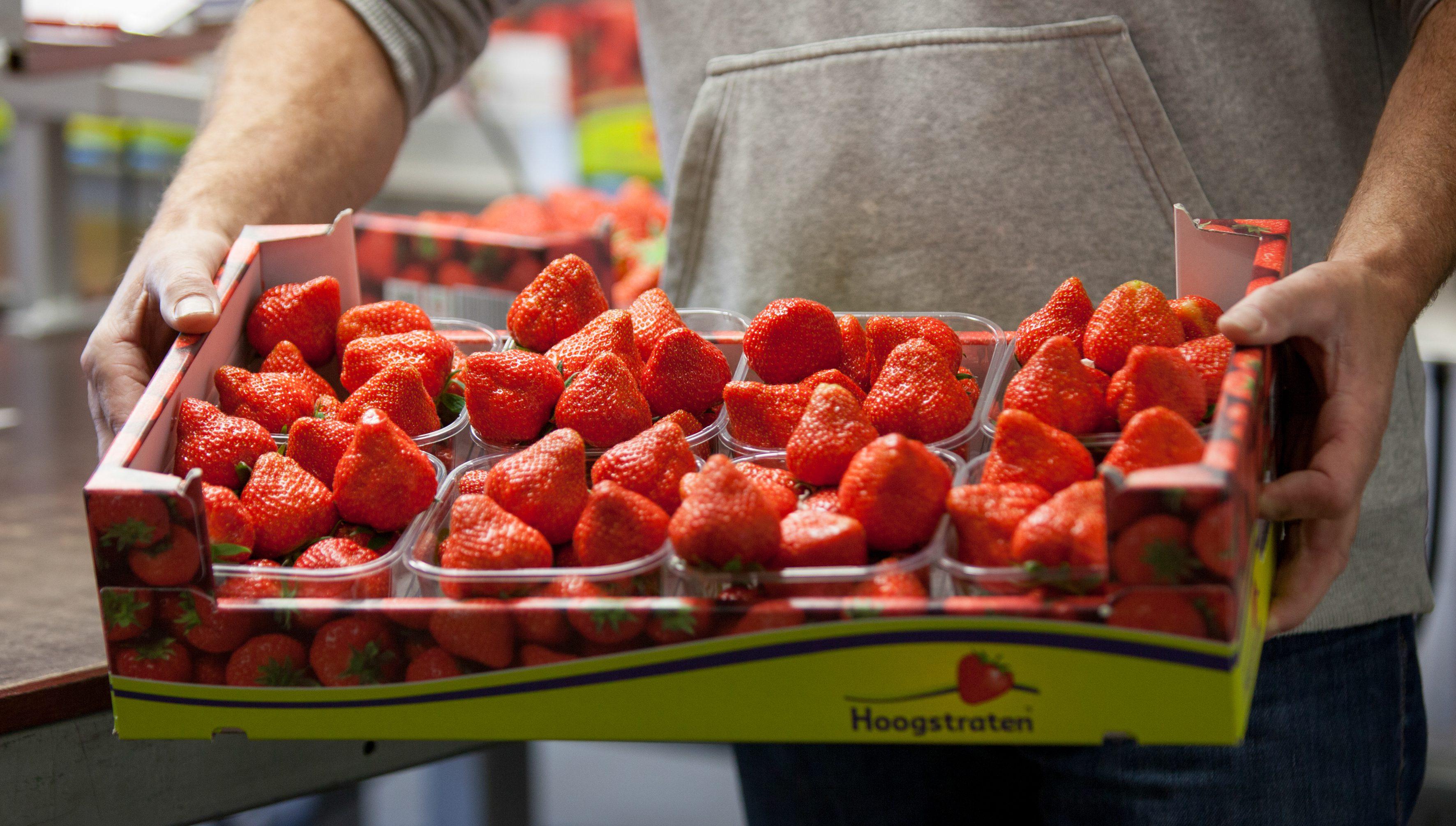 Aardbeien productie - Verpaalen Soft Fruit