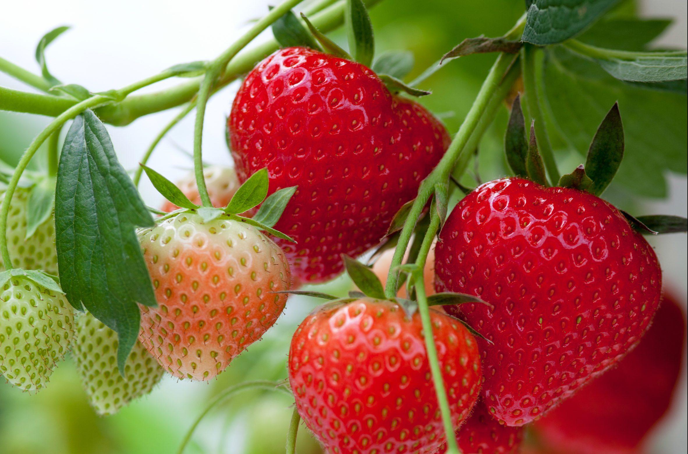Aardbeien zachtfruit - strawberry softfruit - Erdbeeren Weichobst